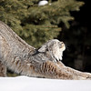 Wild Canada Lynx stretching in Northern Ontario, Canada