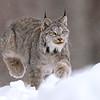 Wild Canada Lynx pouncing in the snow in Ontario, Canada.