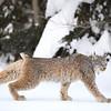 Wild Canada Lynx walking in Ontario, Canada.