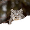 Canada Lynx watching me from behind a snowbank in Northern Ontario, Canada.