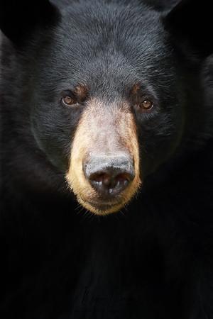 Closeup of a wild black bear in Ontario, Canada.