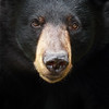Closeup of a wild black bear in Ontario, Canada.