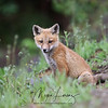 Red Fox Kit  in Algonquin Provincial Park