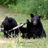 Black Bear Cubs playing with a GoPro mounted on a tripod in Ontario, Canada
