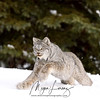 Wild Canada Lynx mid-pounce in Northern Ontario, Canada.