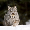Wild Canada Lynx ready to pounce in Northern Ontario, Canada.