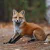 Wild Red Fox in Algonquin Provincial Park.