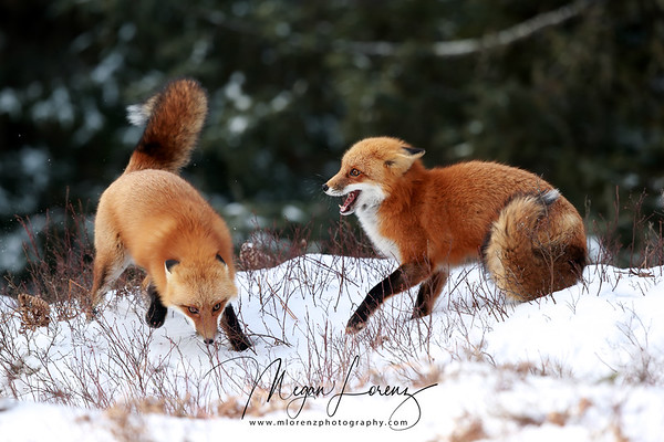 Red Fox Fight in Algonquin Provincial Park, Ontario, Canada