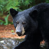 Black Bear Yearling in Ontario, Canada