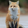 Wild Red Fox in Ontario, Canada