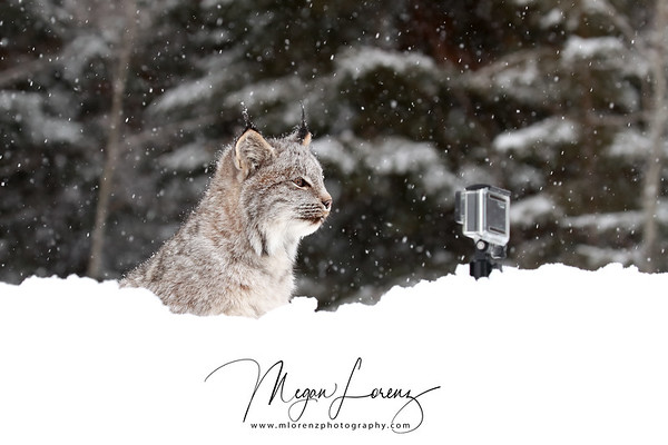 Wild Canada Lynx Kitten staring at a GoPro in Northern Ontario, Canada.