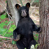 Bear Cub sitting up against a tree in Ontario, Canada.