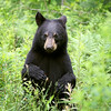 Wild Black Bear Cub sitting up with his paws in the air in Ontario, Canada