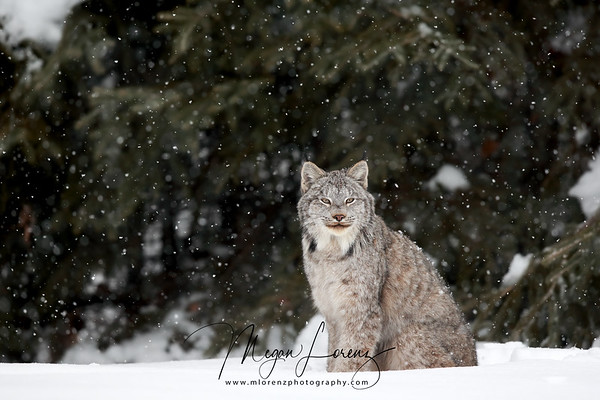 Canada Lynx during a snowstorm in Northern Ontario, Canada.