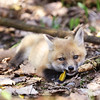 Red Fox Kit with a feather in Algonquin Provincial Park