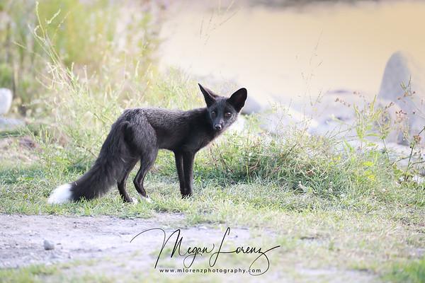 Wild Silver Fox in Ontario, Canada.