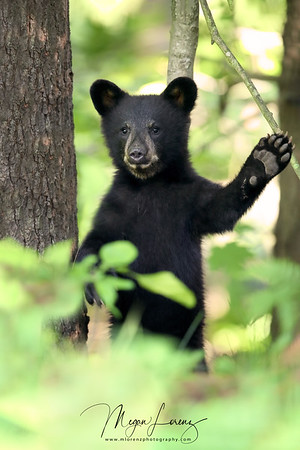 Wild Black Bear Cub waving goodbye to the photographer in Ontario, Canada.