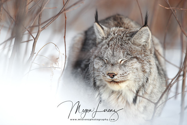 Wild Lynx in Northern Ontario, Canada