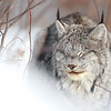 Wild Lynx in Northern Ontario, Canada