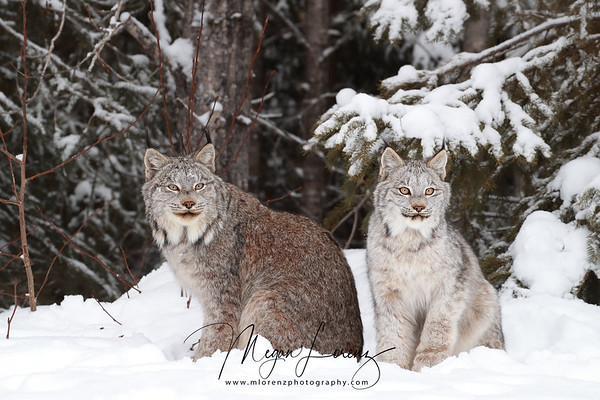 Wild Canada Lynx Female with her kitten in Northern Ontario, Canada.