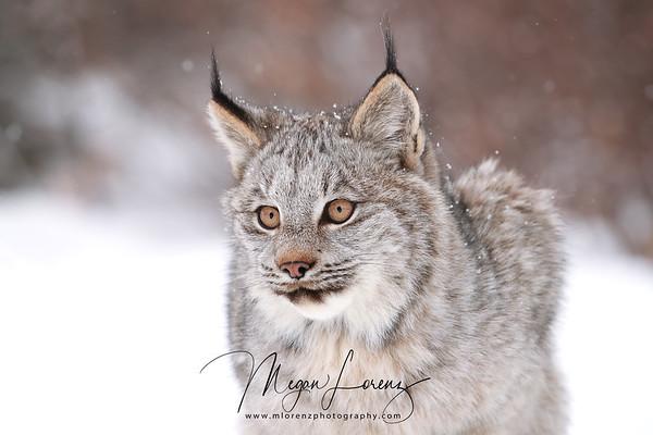 Wild Canada Lynx Kitten in Ontario, Canada.