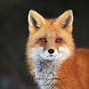 Red Fox Vixen in Algonquin Provincial Park
