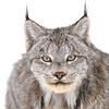 Wild Canada Lynx in Ontario, Canada.