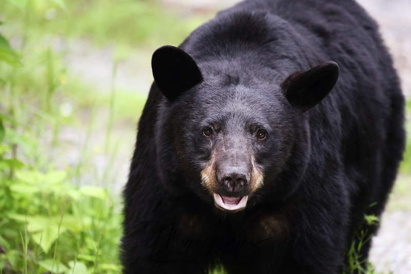 Black Bear in Ontario, Canada