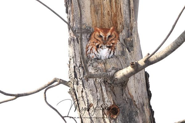 Red-Morph Eastern Screech Owl in Ontario, Canada