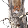 Red-Morph Eastern Screech Owl in Ontario, Canada
