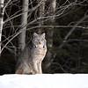 Canada Lynx in Northern Ontario, Canada.