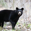 Wild Black Bear Yearling in Ontario, Canada