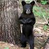 Wild Black Bear Cub in Ontario, Canada.