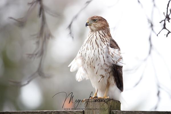 Coopers Hawk in Ontario, Canada.