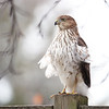 Coopers Hawk in Ontario, Canada.