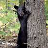 Black Bear Cub in Ontario, Canada