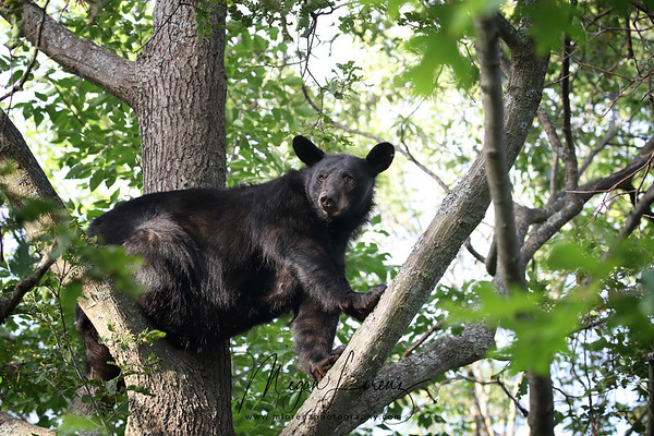 Wild Black Bear Sow high up in a tree in Ontario, Canada.