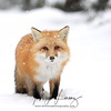 Red Fox on a snowy day in Algonquin Provincial Park