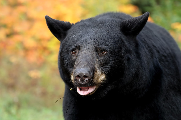 Wild Black Bear and a wasp in Ontario, Canada