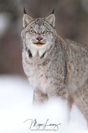 Wild Canada Lynx in Northern Ontario, Canada.