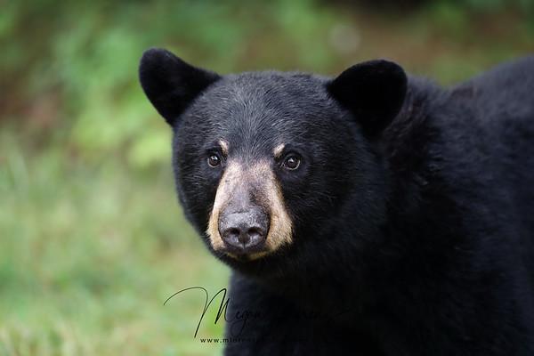 Young Black Bear in Ontario, Canada