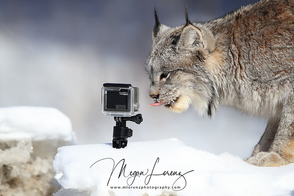 Wild Canada Lynx checking out a GoPro in the snow.