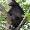 Wild Black Bear Sow in a tree in Ontario, Canada