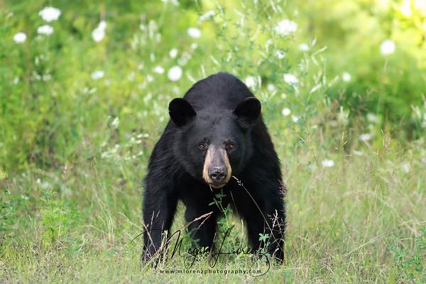 Wild Black Bear in Ontario, Canada