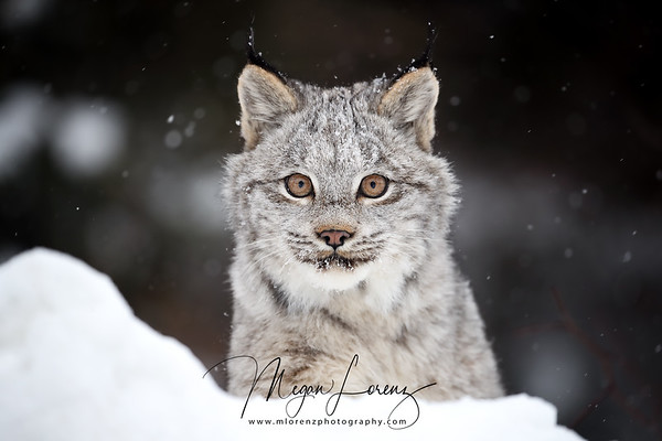 Wild Canada Lynx Kitten in Northern Ontario, Canada.<br /> <br /> <br /> <br /> <br /> <br /> <br /> <br /> <br /> <br /> <br /> <br /> <br /> <br /> <br /> <br /> Wild Canada Lynx Kitten in Northern Ontario, Canada.  After having the opportunity to photograph a female Canada Lynx over the last two winters, it was an incredible feeling to discover she returned for a third winter with her two kittens!!  I've had the pleasure to witness many moments that most people will never see...the female lynx grooming herself, running around playing when she was in heat, sleeping peacefully after choosing a spot within arms reach of me, stalking and hunting.  Now I've also been able to see the kittens playing together and the family grooming each other.  The fact that she accepts me in her presence is not something I ever take for granted and I realize that I will probably never have this type of bond with a wild animal again.