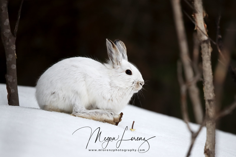 Snowshoe Hare in the winter in Northern Ontario, Canada