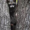 Young Raccoon in Ontario, Canada.