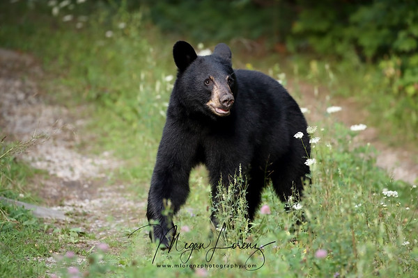 Black Bear Yearling (Male) in Ontario, Canada