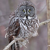 Wild Great Gray Owl in Kingsville, Ontario.  In 130 years of record-keeping, this is the first documented GGO in Essex County.