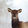 Wild Elk Calf in Ontario